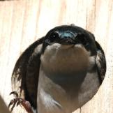 Tree Swallow (Tachycineta bicolor) in box ©USFWS