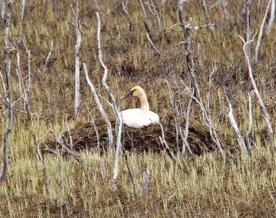 Trumpeter Swan (Cygnus buccinator) on nest ©USFWS