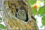 Western Screech Owl (Megascops kennicottii) by Daves BirdingPix