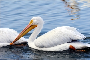 White Pelican at Lake Hollingsworth by Dan