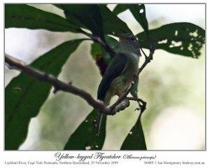 Yellow-legged Flyrobin (Microeca griseoceps) by Ian