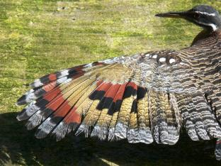 Sunbittern (Eurypyga helias) Left Wing by Lee at Lowry Park Zoo