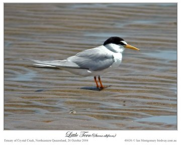 Little Tern (Sternula albifrons) by Ian