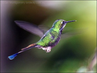 White-booted Racket-tail (Ocreatus underwoodii) by Ian