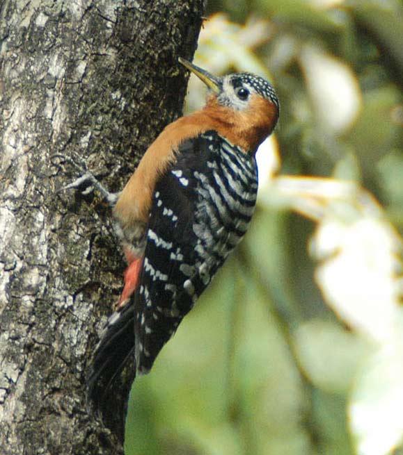 Rufous-bellied Woodpecker (Dendrocopos hyperythrus) by Nikhil Devasar