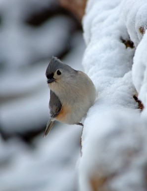 Tufted Titmouse (Baeolophus bicolor) by Ray