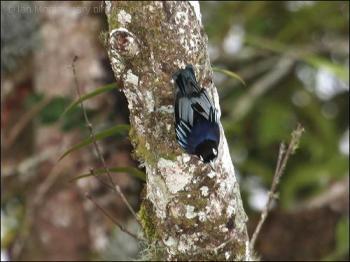 Blue Nuthatch (Sitta azurea) by Ian
