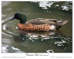 Chestnut Teal (Anas castanea) Male by Ian