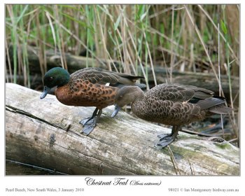 Chestnut Teal (Anas castanea)by Ian