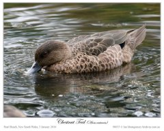 Chestnut Teal (Anas castanea) Female by Ian