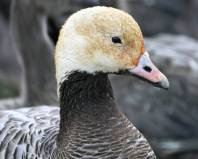 Emperor Goose (Anser canagicus) head ©USFWS