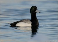 Greater Scaup (Aythya marila) by Ray