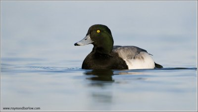 Lesser Scaup (Aythya affinis) by Ray
