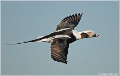Long-tailed Duck (Clangula hyemalis) by Ray