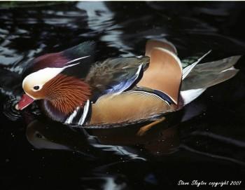 Mandarin Duck (Aix galericulata) by S Slayton