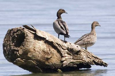 Maned Duck (Chenonetta jubata) ©AGrosset