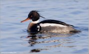 Red-breasted Merganser (Mergus serrator) by Ray