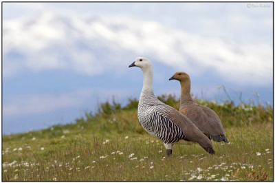 Upland Goose (Chloephaga picta) by Daves BirdingPix