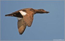 White-winged Scoter (Melanitta deglandi) by Ray