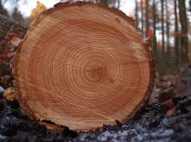 Tree rings from Wikipedia