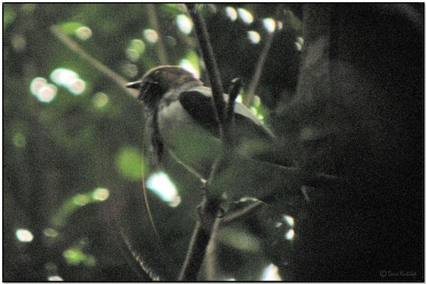 Bearded Bellbird (Procnias averano) by Daves BirdingPix