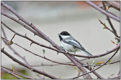 Black-capped Chickadee by Dave's BirdingPix