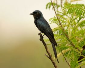 Black Drongo (Dicrurus macrocercus) by TAJA
