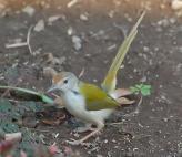 Common Tailorbird (Orthotomus sutorius) by Nikhil Devasar