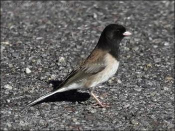 Dark-eyed Junco (Junco hyemalis) by Ian