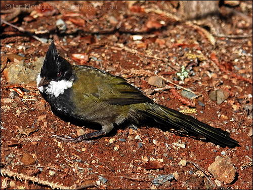 Eastern Whipbird (Psophodes olivaceus) by Ian