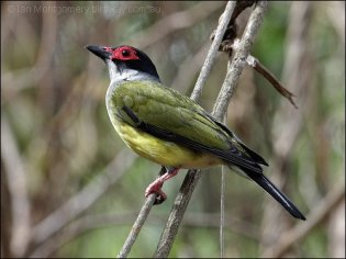 Green Figbird (Sphecotheres viridis) by Ian