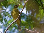 Green Oriole (Oriolus flavocinctus) by Ian