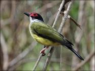 Green Figbird (Sphecotheres viridis) by Ian