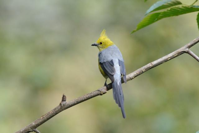 Grey Silky-flycatcher (Ptilogonys cinereus) Reinier Munguia