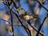 Inland Thornbill (Acanthiza apicalis) by Ian