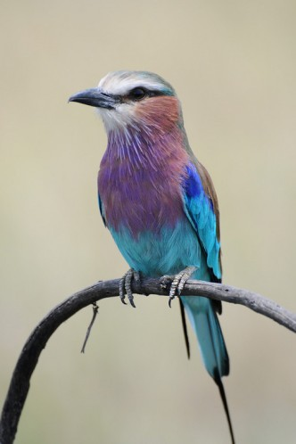 a study on the lilac breasted roller Scientific name, coracias caudatus location, kruger national park, south africa  specimen condition, live specimen source, lilac-breasted roller (coracias.