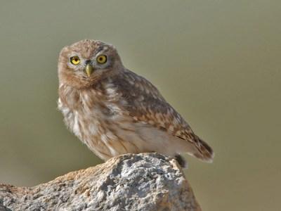 Little Owl (Athene noctua) by Nikhil Devasar