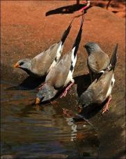 Long-tailed Finch (Poephila acuticauda) by Ian