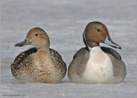 Northern Pintail (Anas acuta) pair by Ray