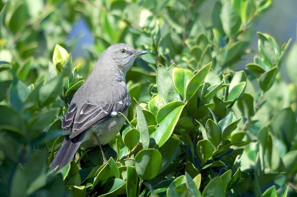 Northern Mockingbird Mimus Polyglottos By DansPix
