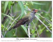 Olive-backed Oriole (Oriolus sagittatus) by Ian