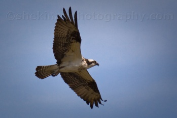 Osprey by Kathleen of Shekinah Photography