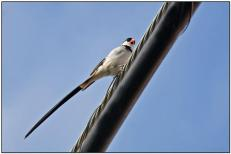 Pin-tailed Whydah (Puerto Rico)
