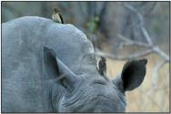 Red-billed Oxpecker (Buphagus erythrorynchus) by Daves BirdingPi