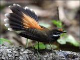 Rufous Fantail (Rhipidura rufifrons) by Ian