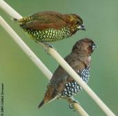 Scaly-breasted Munia (Lonchura punctulata) by Nikhil Devasar