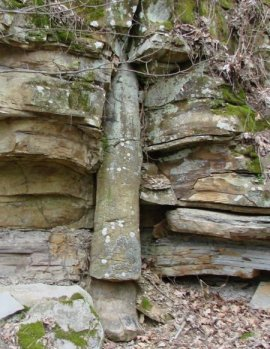 Polystrate lycopod in Tennessee showing VISS and crossbedding, both caused by flows from right to left in photo