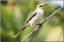 Tropical Mockingbird (Mimus gilvus) by Daves BirdingPix