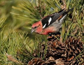 Two-barred Crossbill (Loxia leucoptera) by Jim Fenton