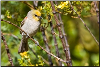 Verdin (Auriparus flaviceps) by Daves BirdingPix